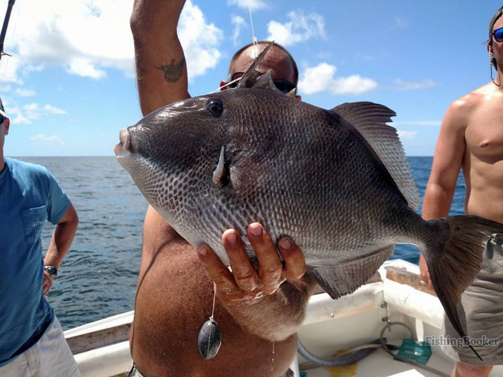 , Triggerfish Fishing in Florida – Complete Guide for 2019, Anglers Hookup